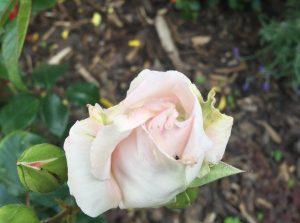 Rose von Uschi, fast weiß